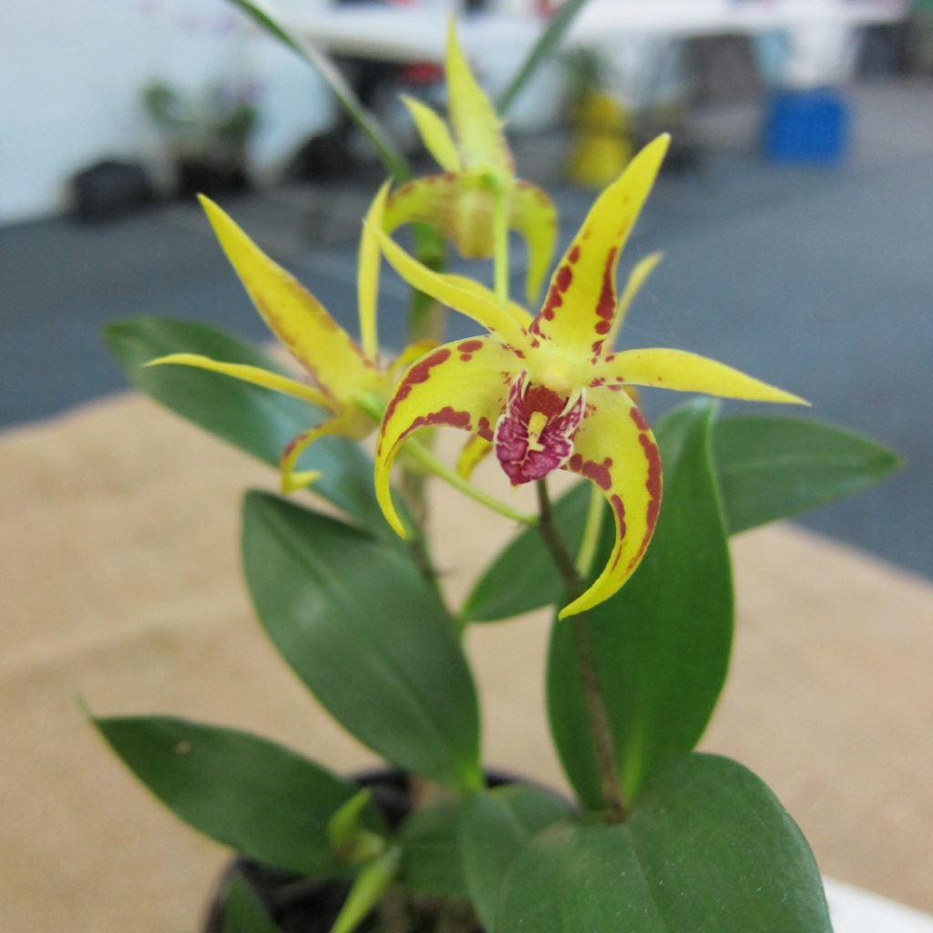 Den Aussie Parade X Hewitt Glow, Grown By David Cannon - First Flowering Seeding - 2nd Place