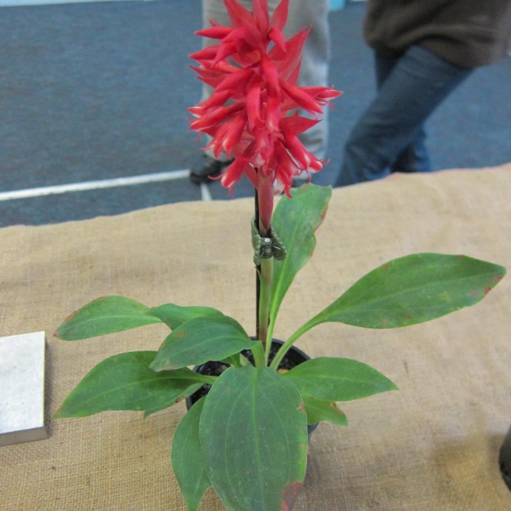Stenorrhynchus Speriosus, Grown By Dieter Weise - First Flowering Seedling 1st Place