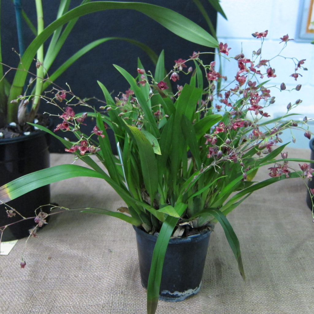 Oncidium Twinkle 'Red Fantasy', Grown By David Cannon