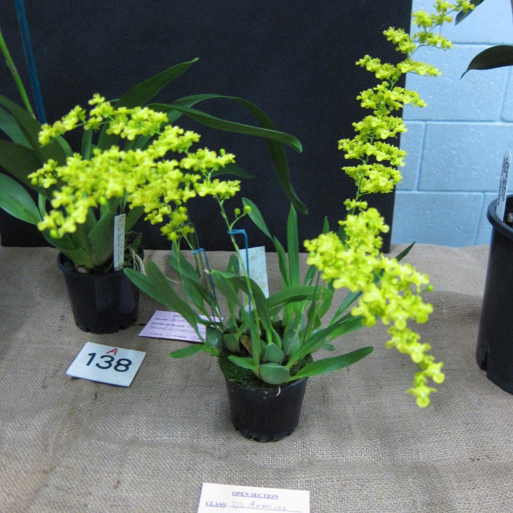 Oncidium Cheirophorum, Grown By Dieter Weise, Champion Species Winter Show