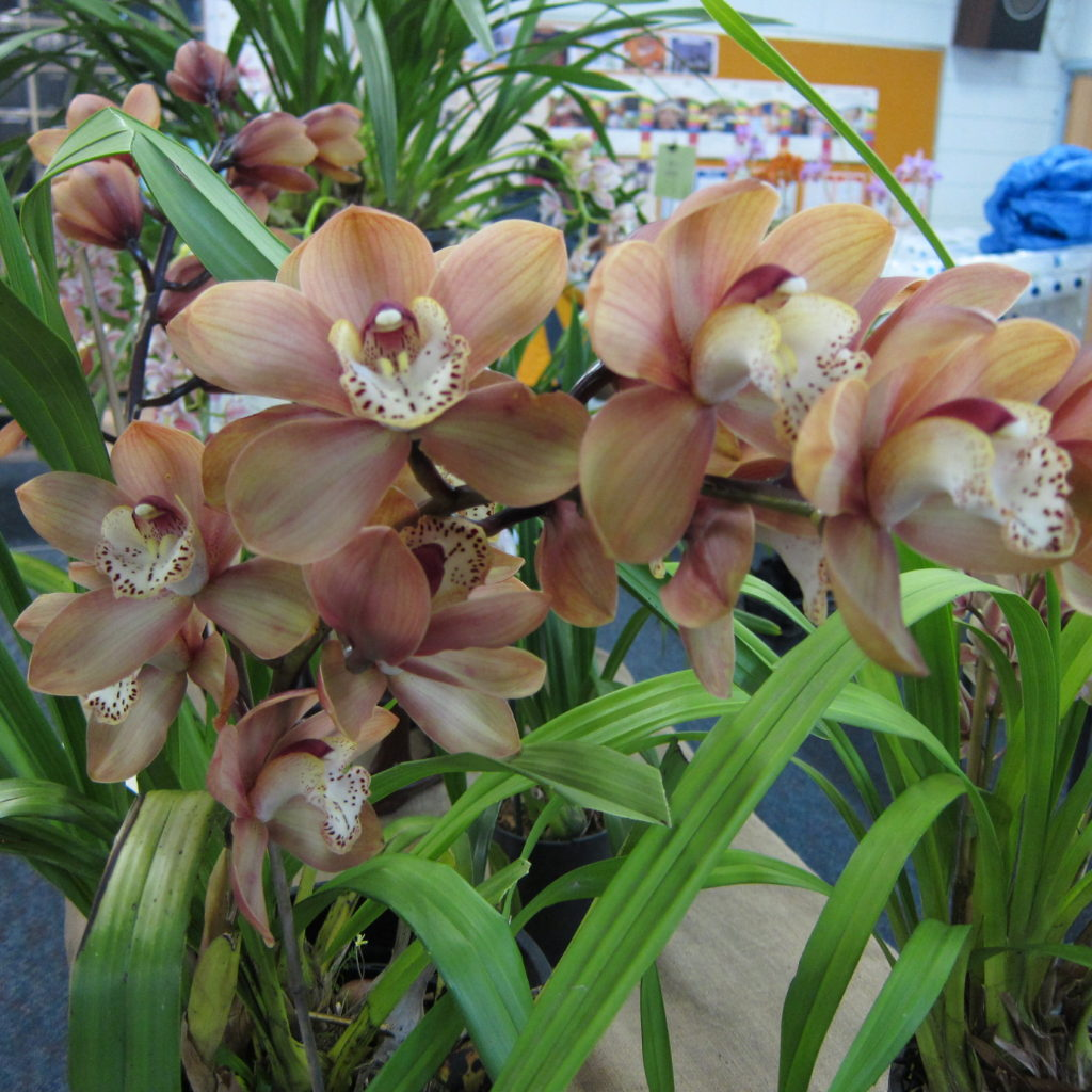 Cym Unknown, Grown By Jeanette Healy, Best Cymbidium Of The Winter Show (other Than Open Section)