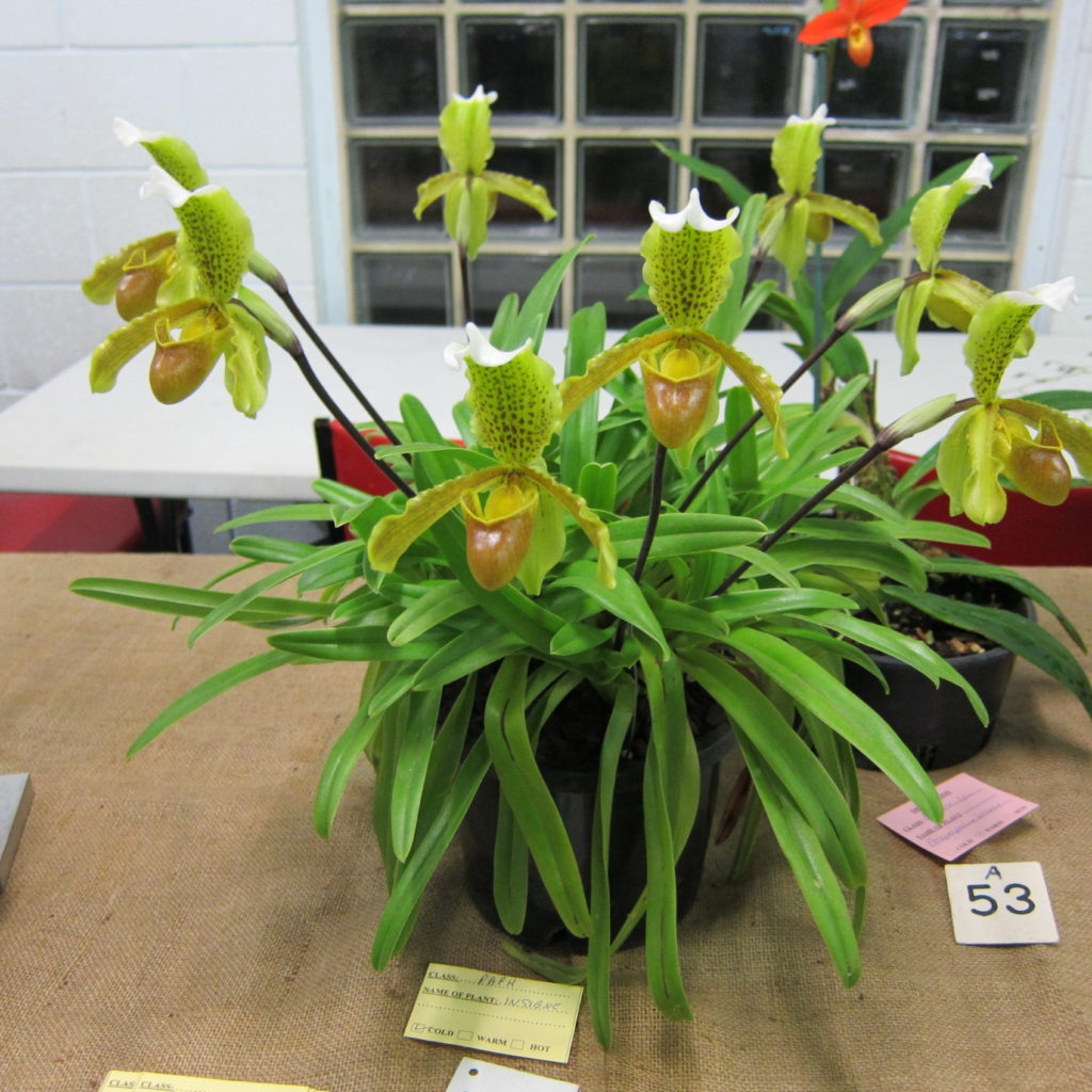Paph Insigne, Grown By Max Bomford - Popular Vote