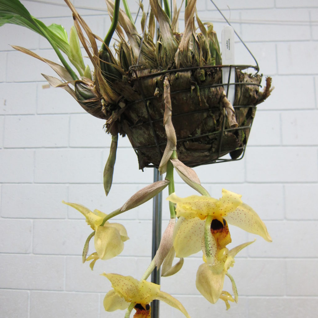 Stanhopea Nigripes, Gronw By Dieter Weise