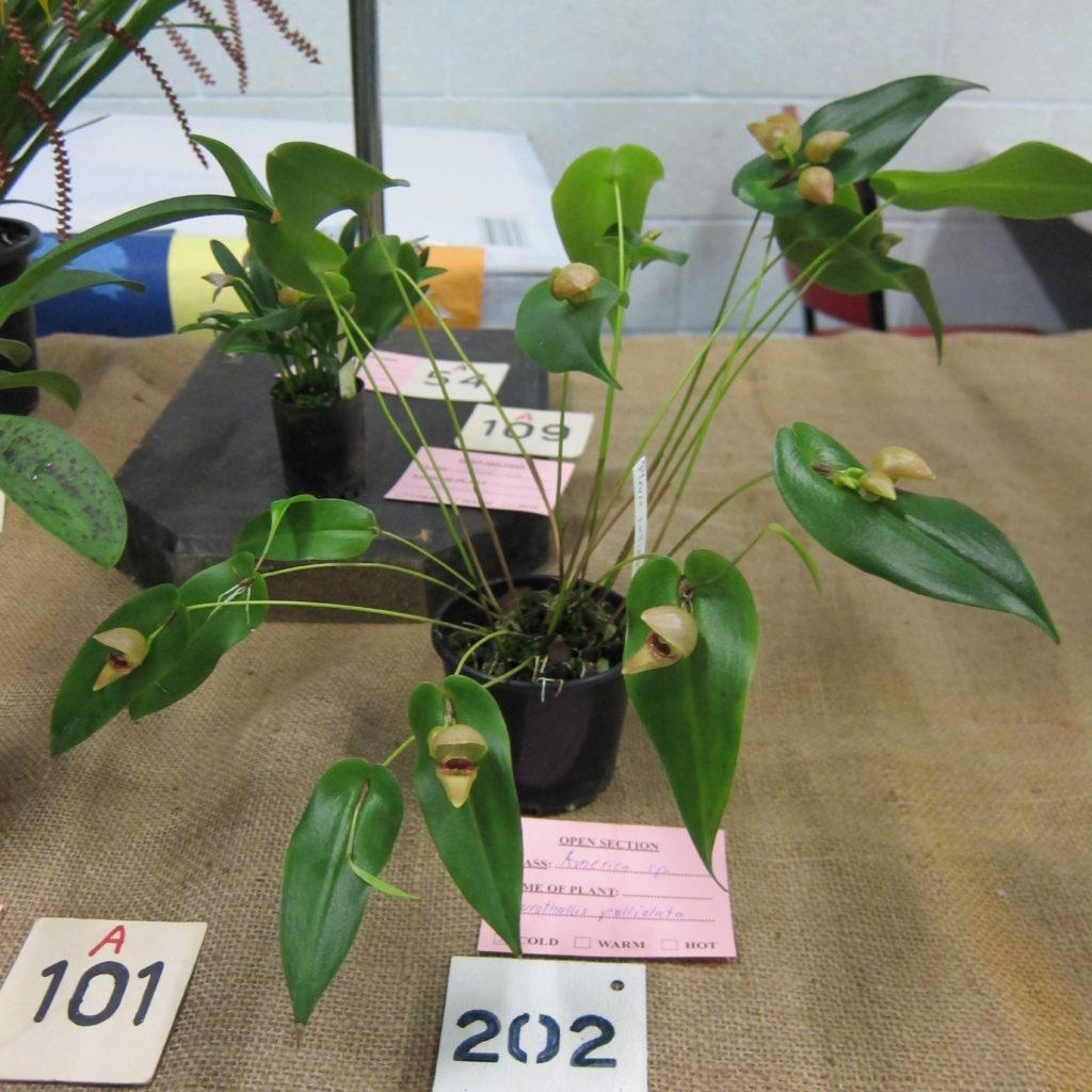 Pleurothallis Palliolata, Grown By Dieter Weise