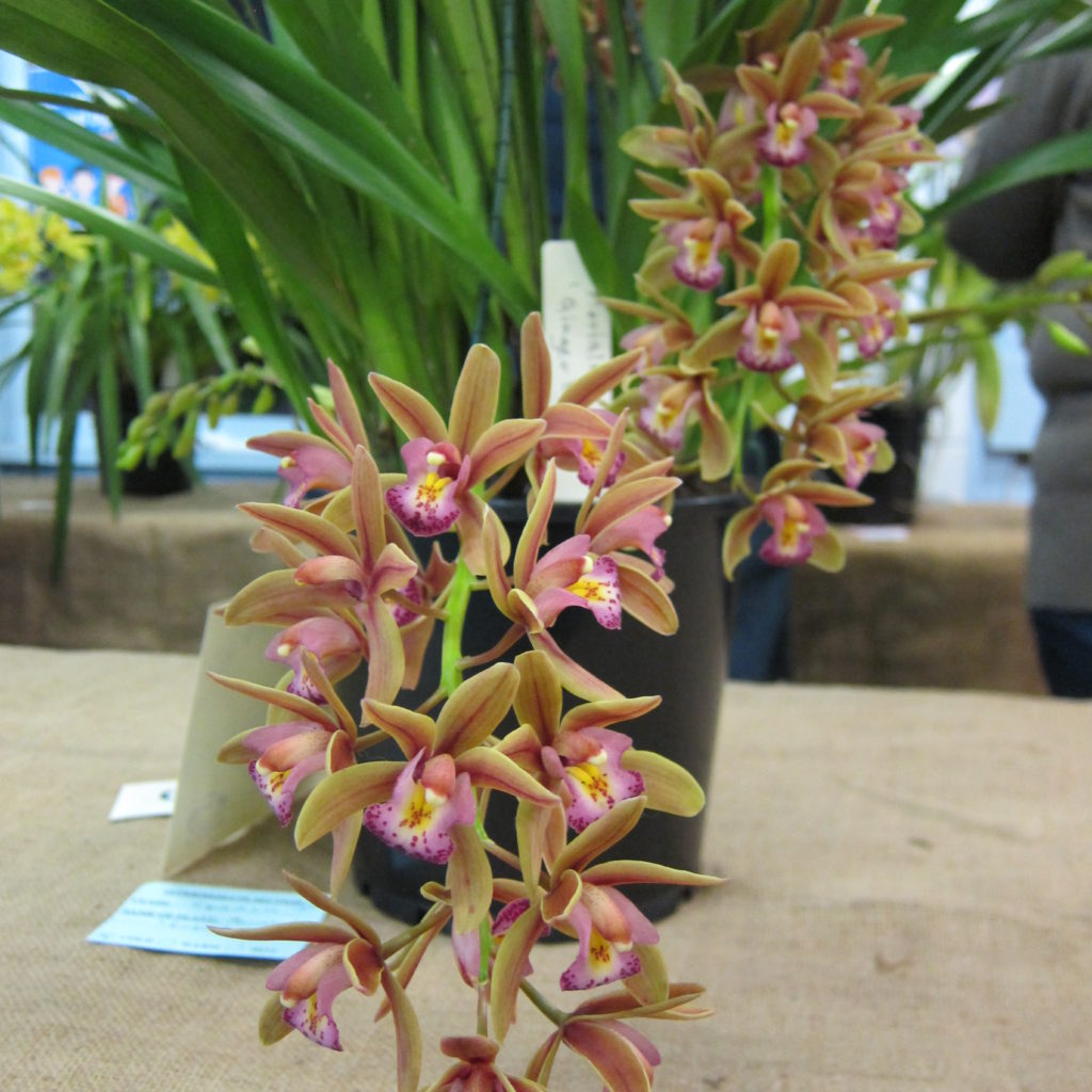 Cym Morialta 'Ginger Bread', Grown By Leo Orland - Best Exhibit In The Intermediate Section